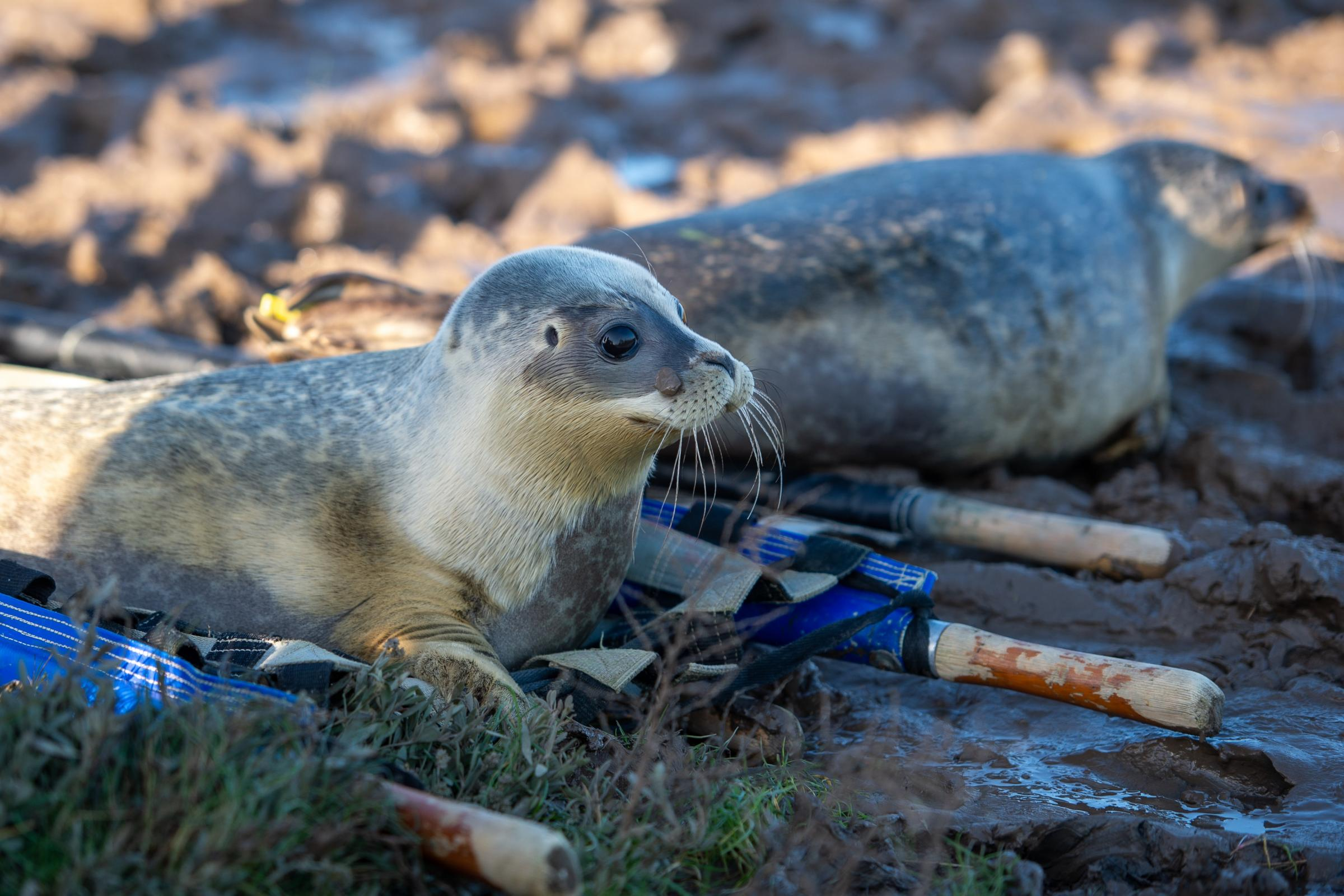 Six seals released back into the wild - Chelmsford Weekly News