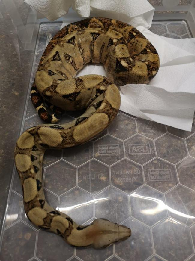 Left - the six foot snake was dumped outside a pet shop