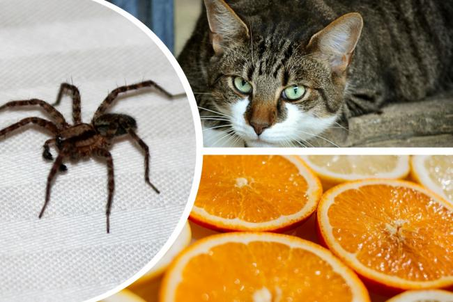 Oranges, cats and 6 other ways to keep spiders out of your house this autumn. Pictures: Pixabay/Newsquest