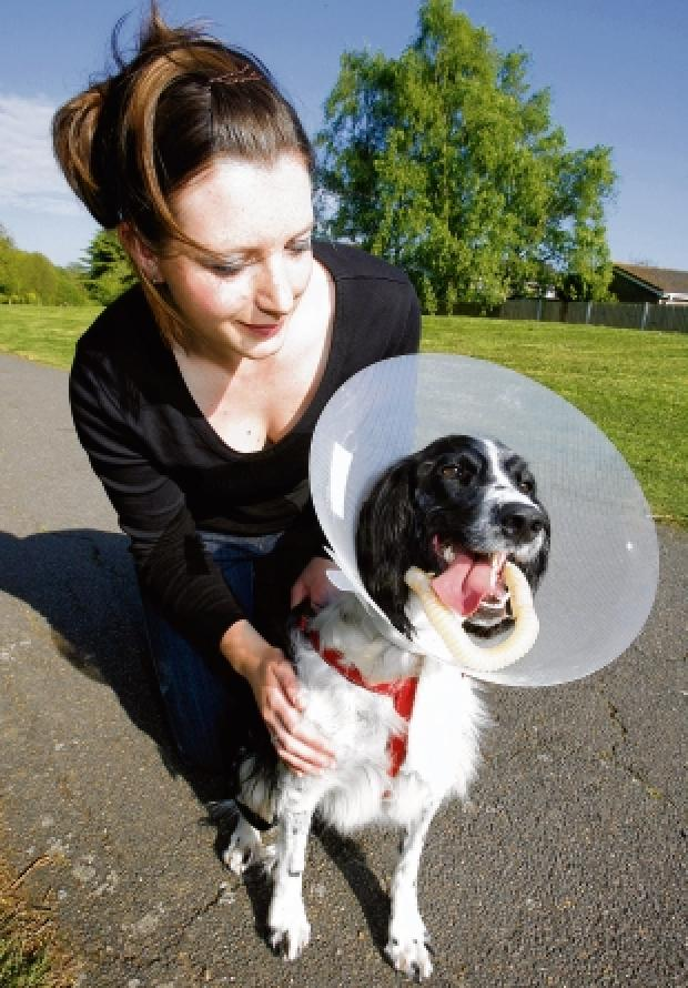 Injured – springer spaniel Lucy after the accident with co-owner Jenny Gardiner in Castle Park