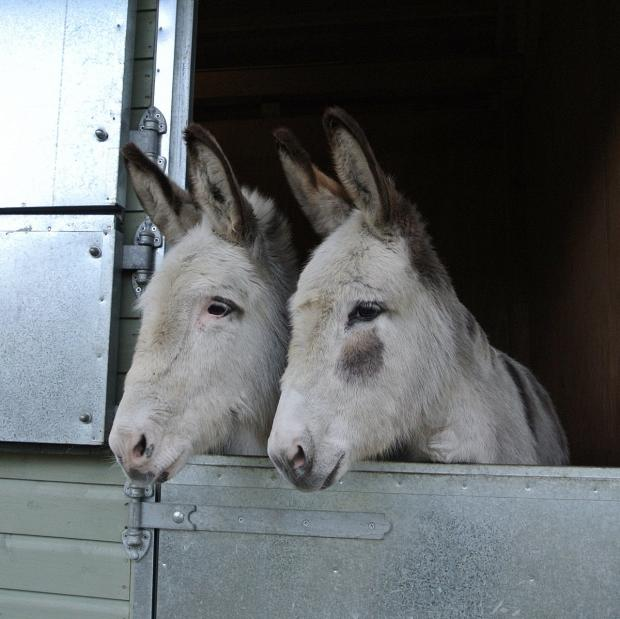 Donkeys don't like to be alone - as you can tell by these two who seem very happy to be together