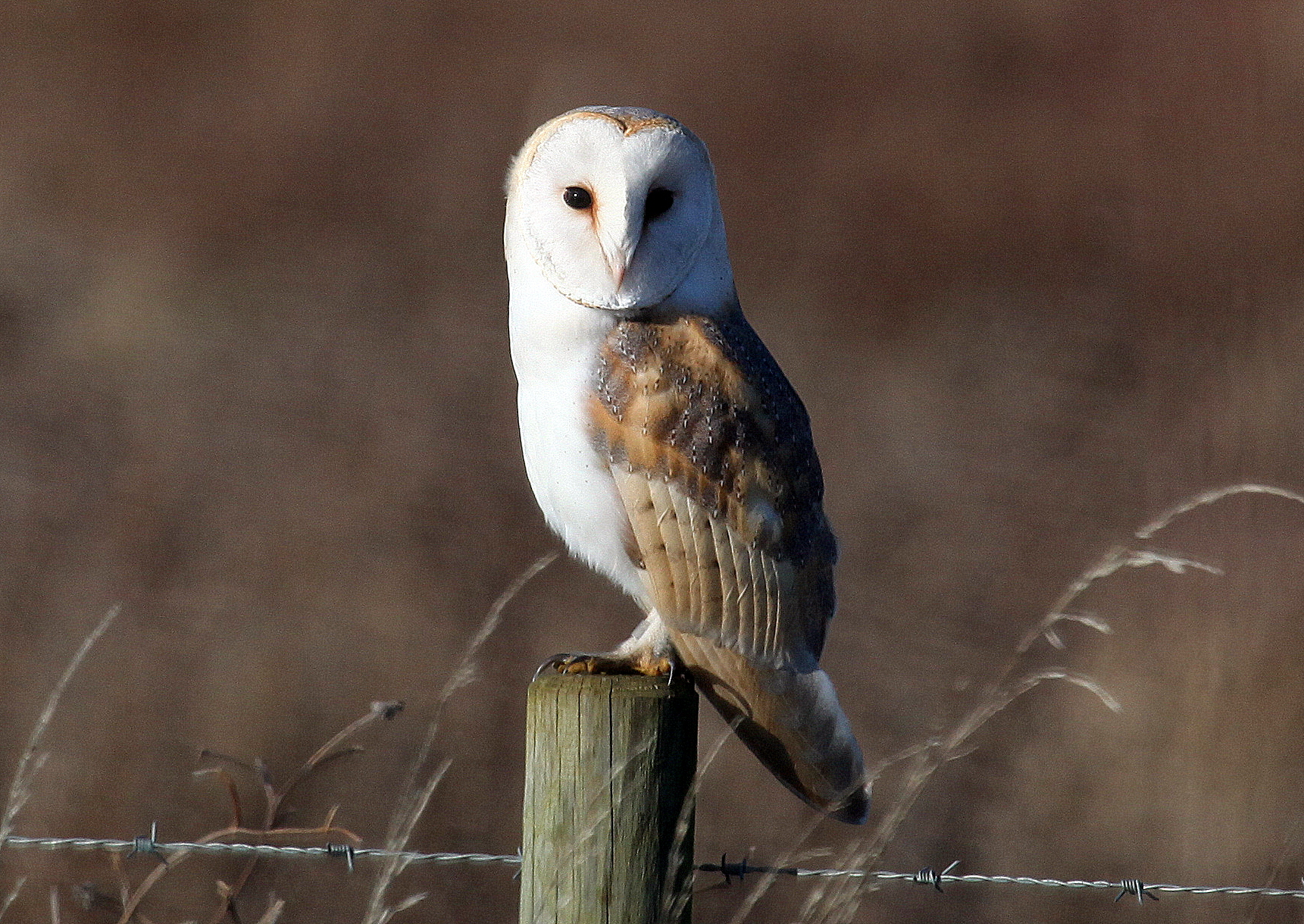 Essex Wildlife Trust- Introduction to Barn Owls