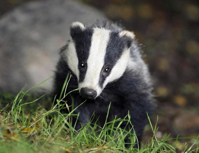 RSPCA launch investigation after badger skin found in back garden