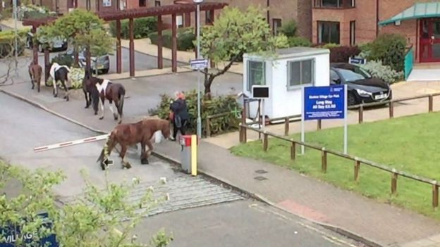 Escaped horses - Photo @ Anglian Ruskin University
