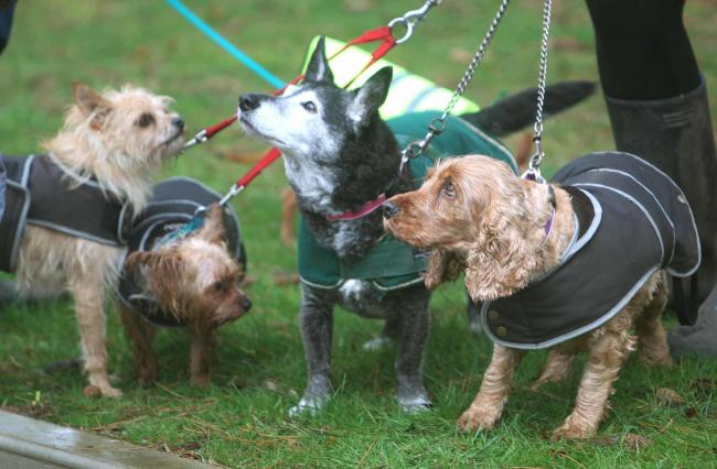 Heli Hounds walf for Essex and Herts Air Ambulance..Dogs ready for their walk in the rain..